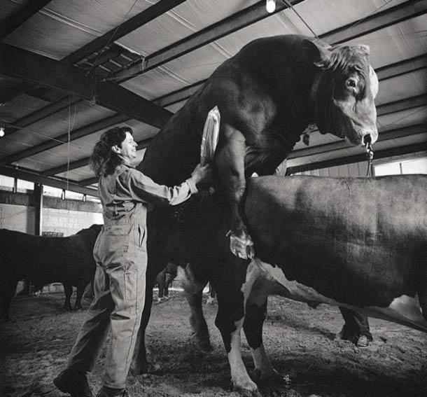 Un collecteur de semence de taureaux se prépare à exercer son métier